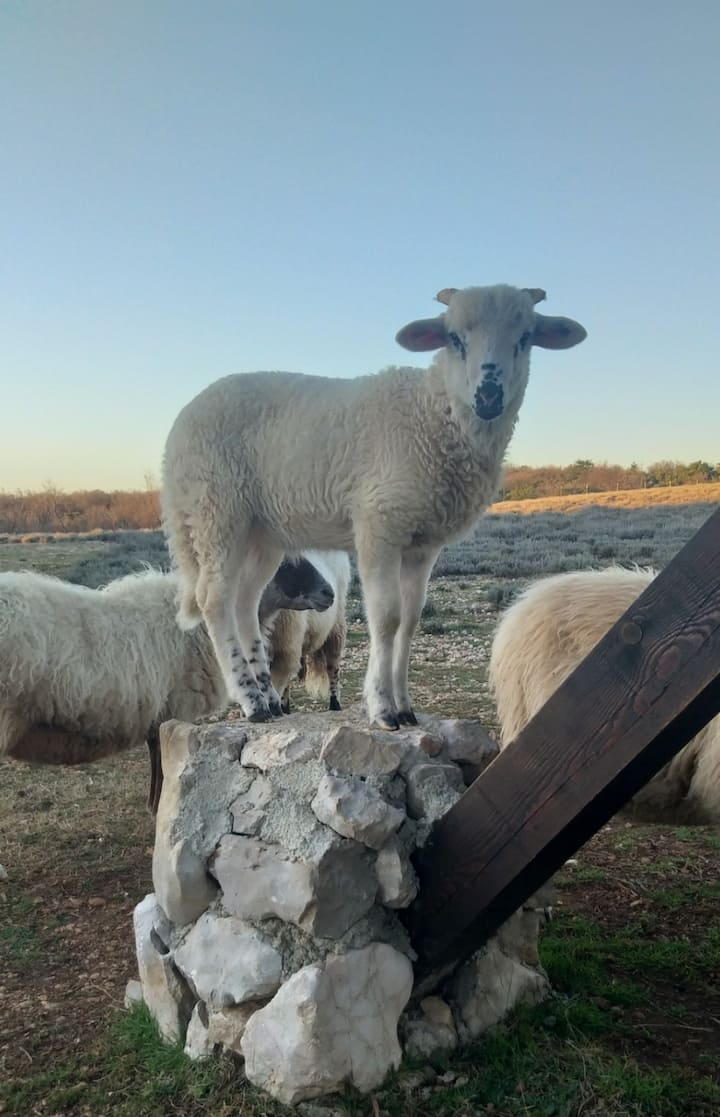 Lamb & Sheep in the Immortelle farm