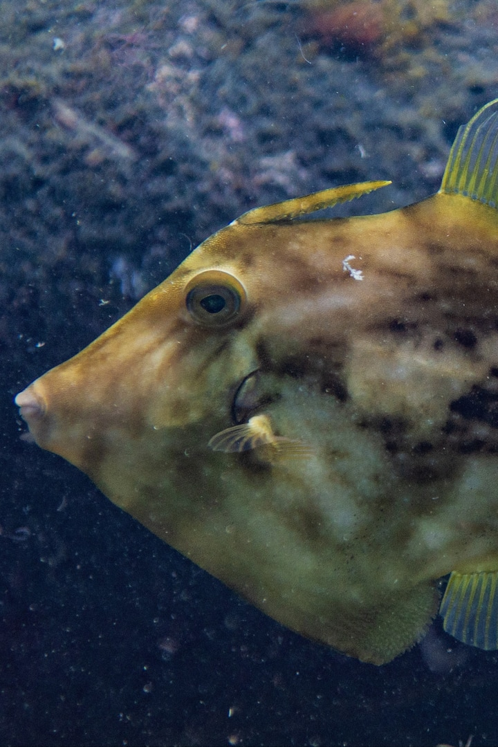 Planehead Filefish