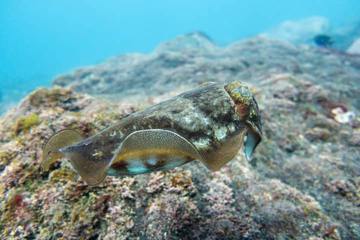 A Common cuttlefish