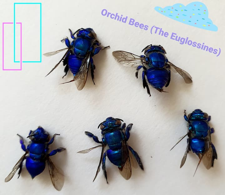 Orchid  bees from my backyard