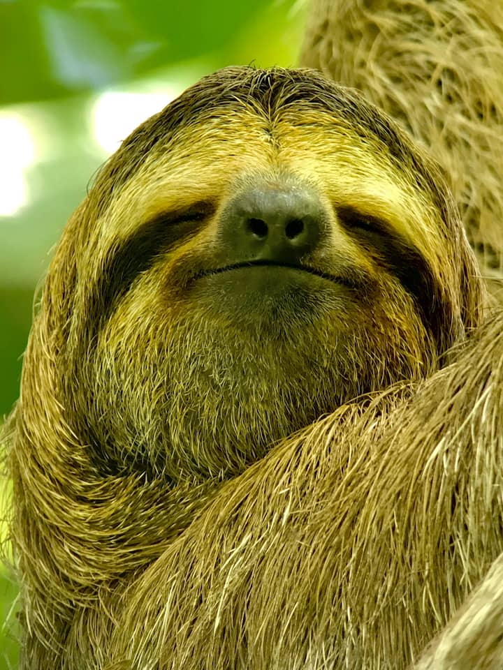 3 Toed Sloth could be photograph