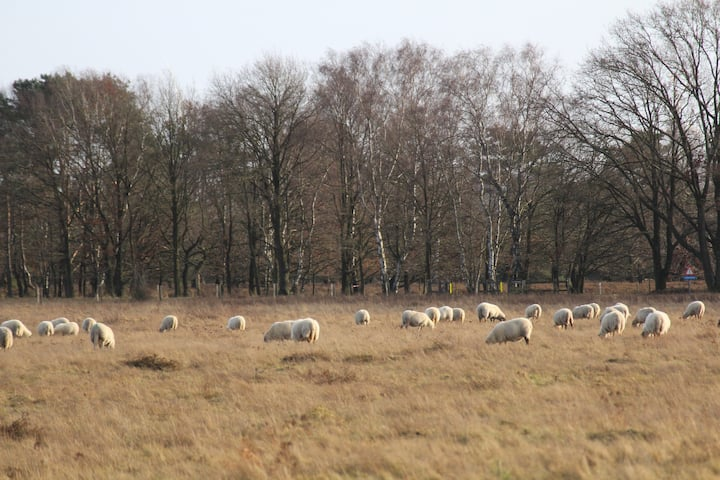Sheep on the graslands