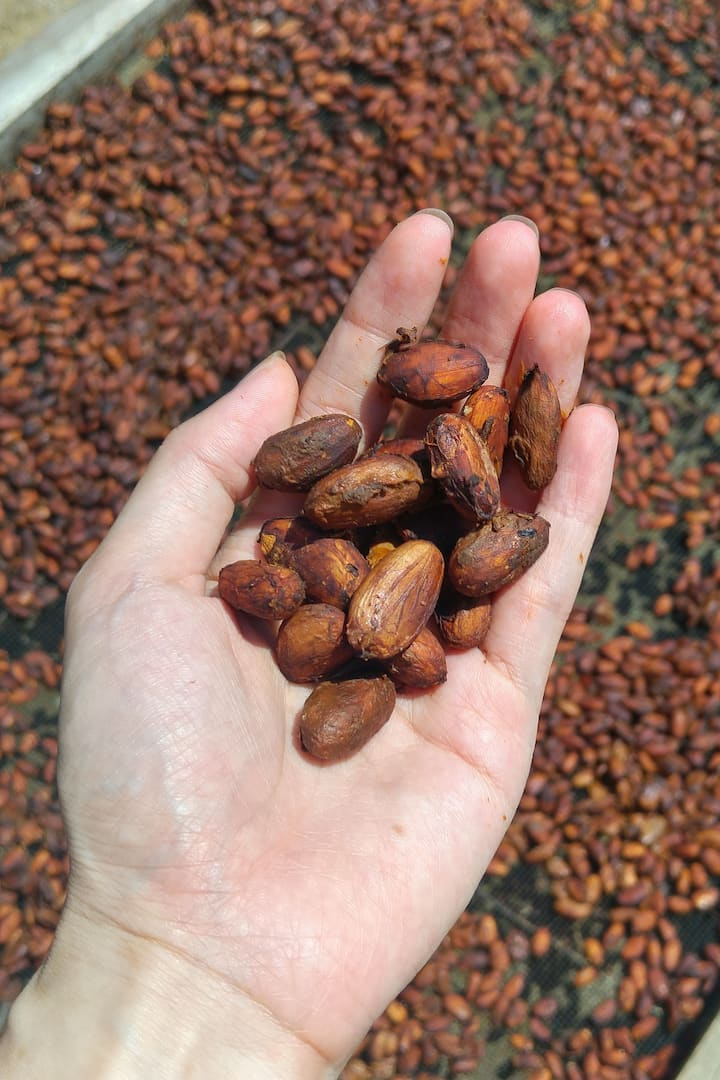 Healthy fermented cocoa beans