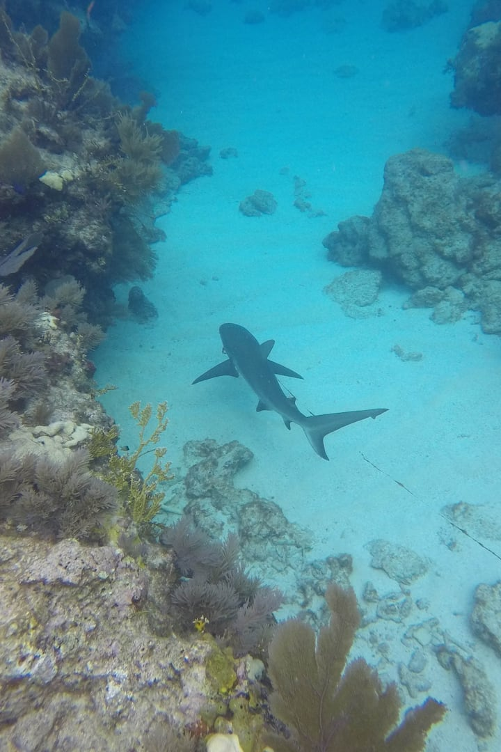 Large reef shark passes under us on dive