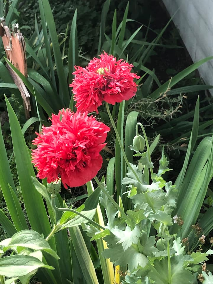 Double poppies