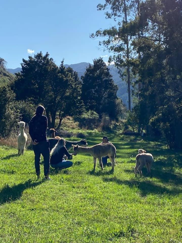 Feed alpacas - get up close