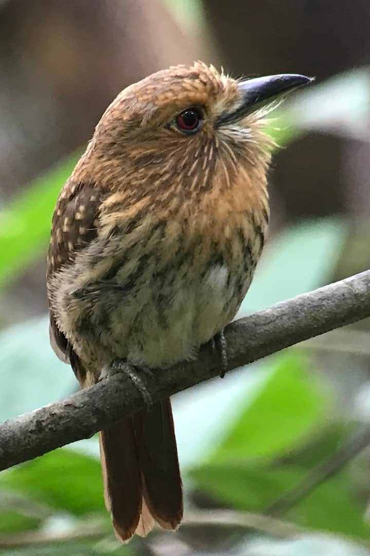 Puffbirds,tanager are waiting for you.