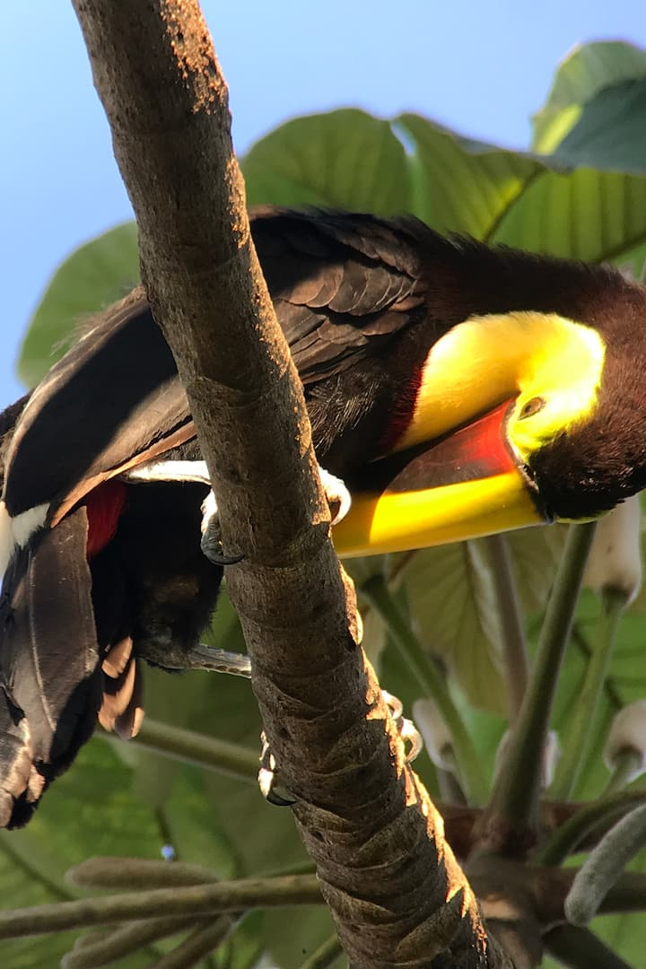 Toucans and toucanets are here for you