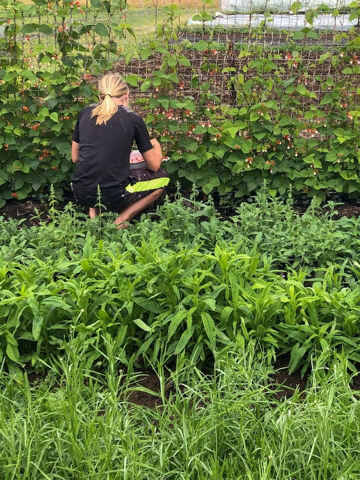 harvesting pea flowers