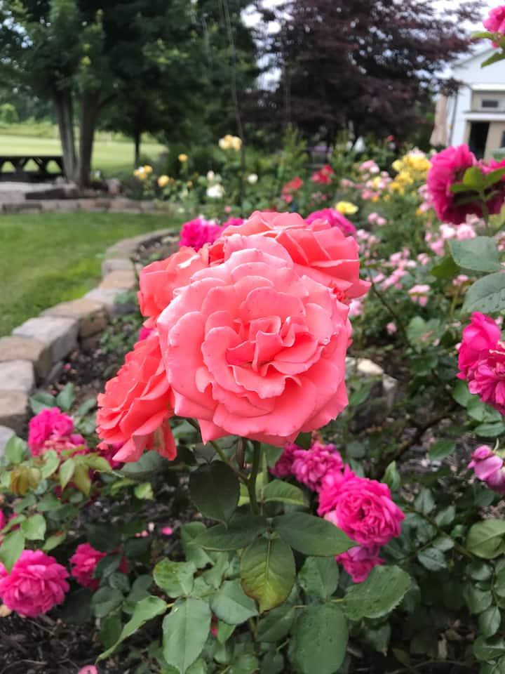Roses at Akronside