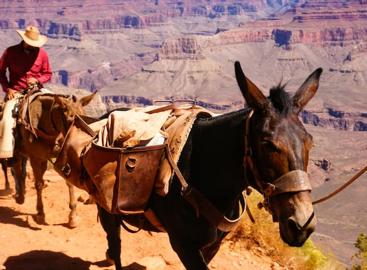 See the World Famous Grand Canyon Mules!