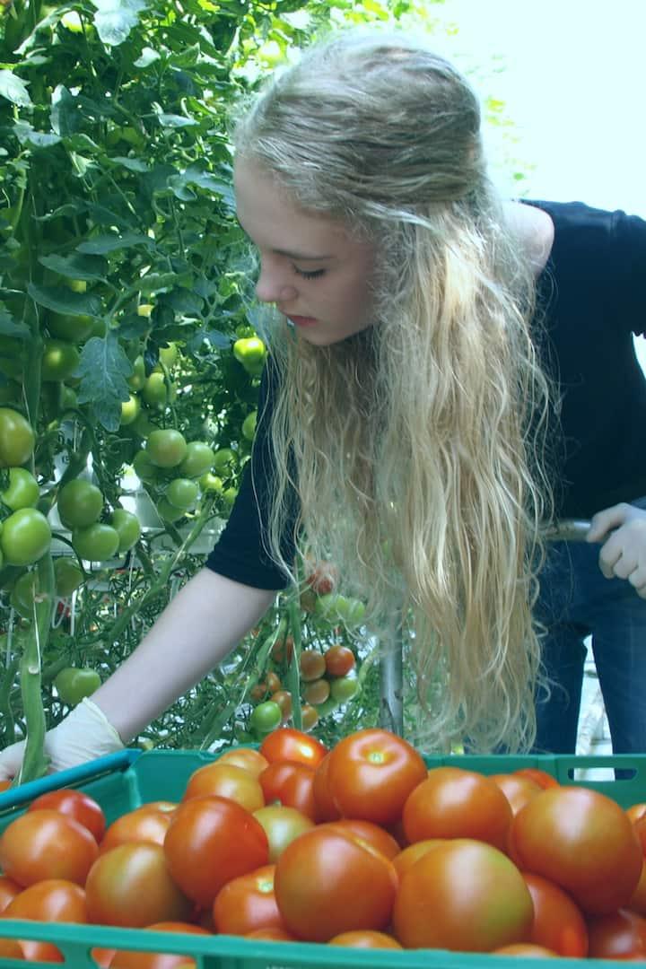 Friðheimar tomato farm