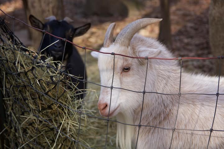 The goats are sweet and fun to watch