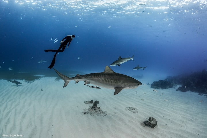 Freediving with Tiger Sharks.