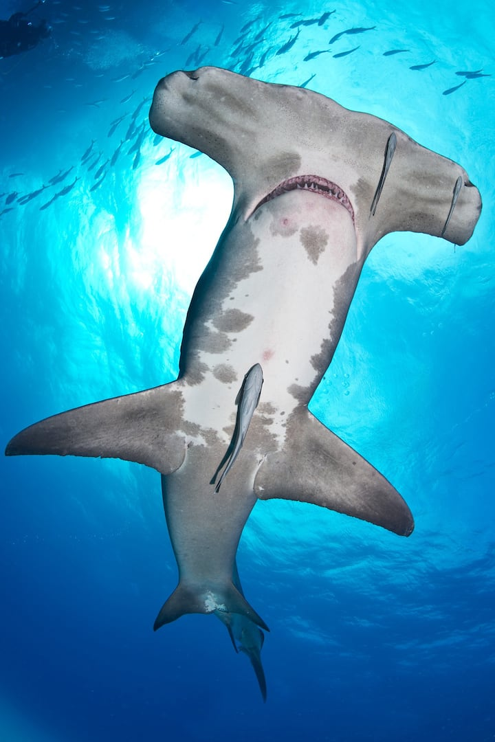 Weird and wonderful Hammerhead Shark