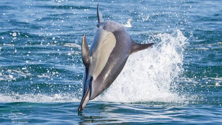 Learn how dolphins create a bait-ball