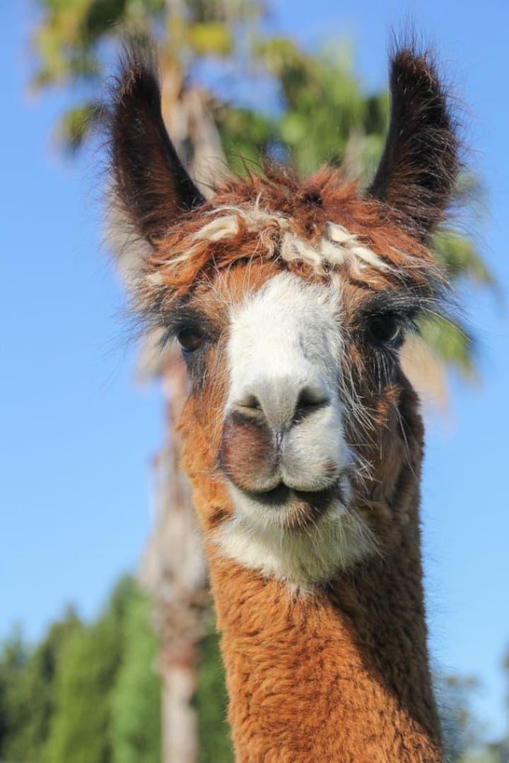 Am I a llama or alpaca?