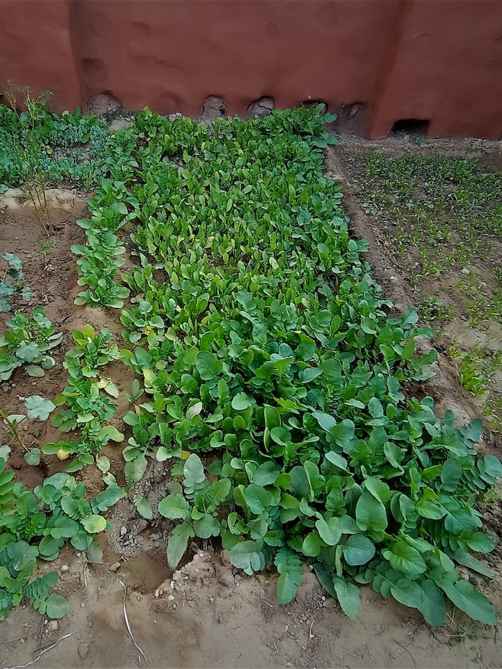 Organic Vegetables  in home garden