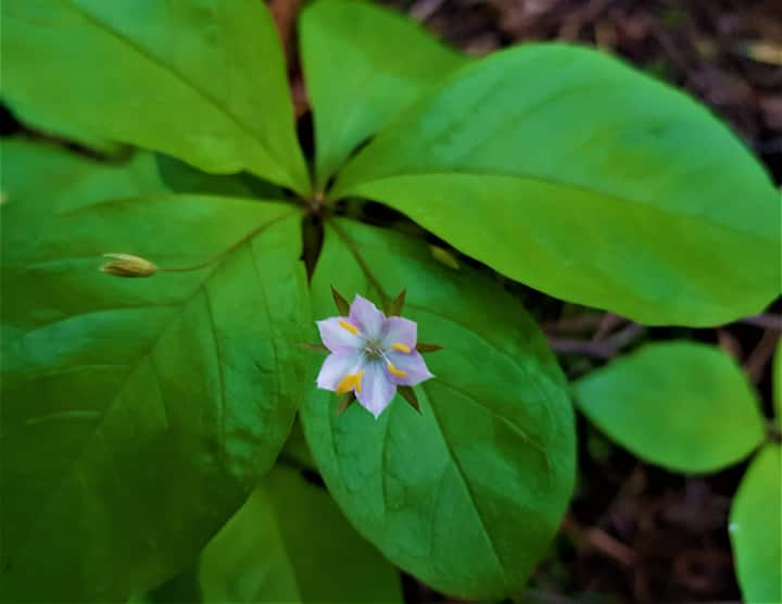 Northern starflower