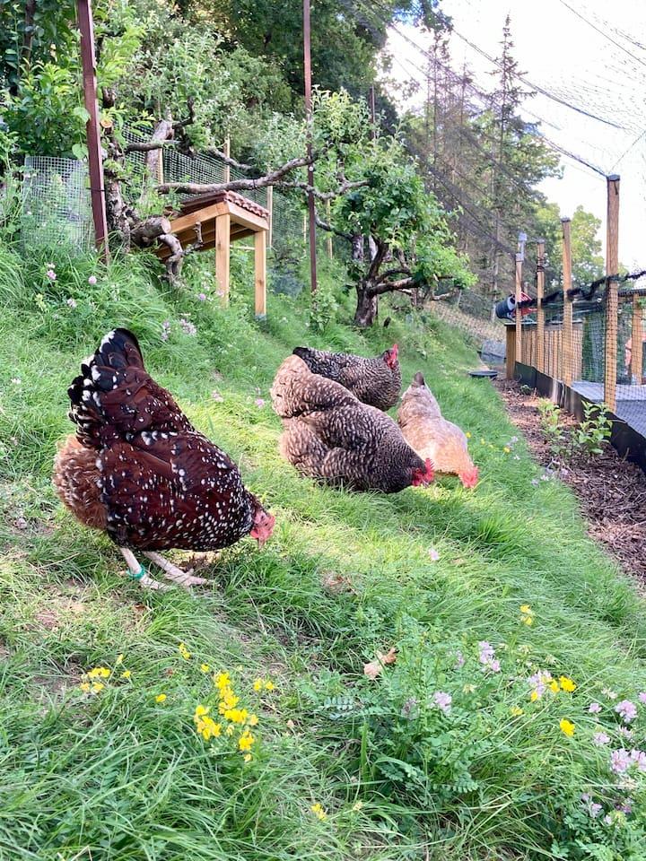 Die Hennen picken nach Körnern.