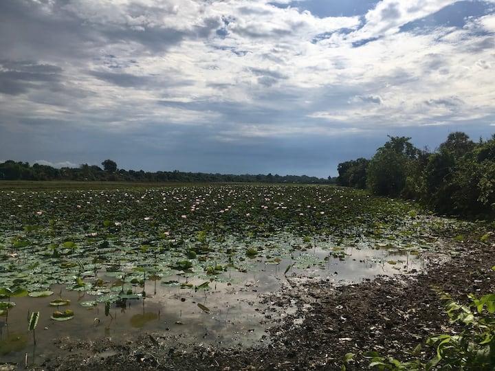 magnifiques champs de lotus autour