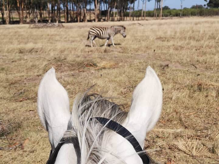 Ice watching a zebra