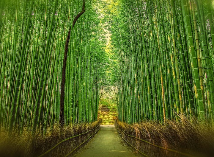 bamboo forest at Kyoto