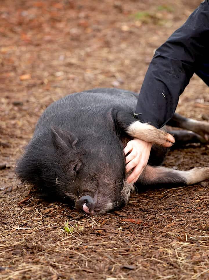 Pigs love Reiki