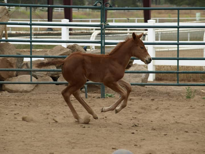 Peppys  Fine Legacy  aka. Red at 2 mos.