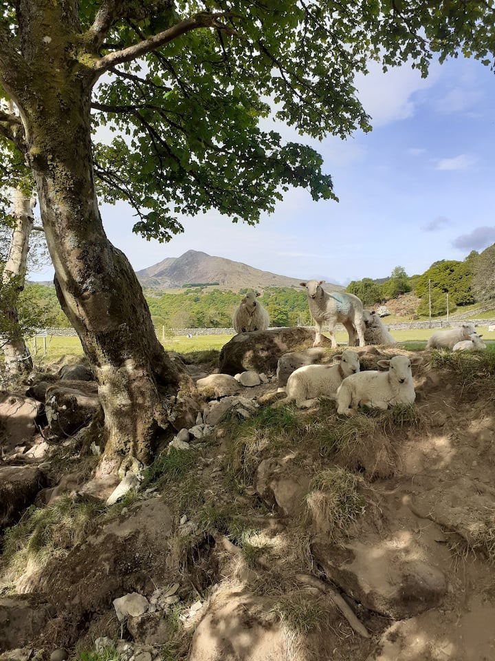 some of our sheep relaxing in the shade
