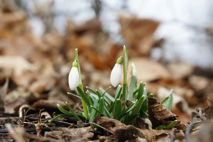 Snowdrops popping out