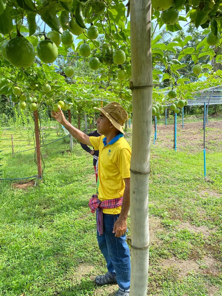 Passion fruits in mix farm