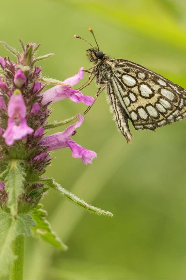Butterflies in the fields around Angofa