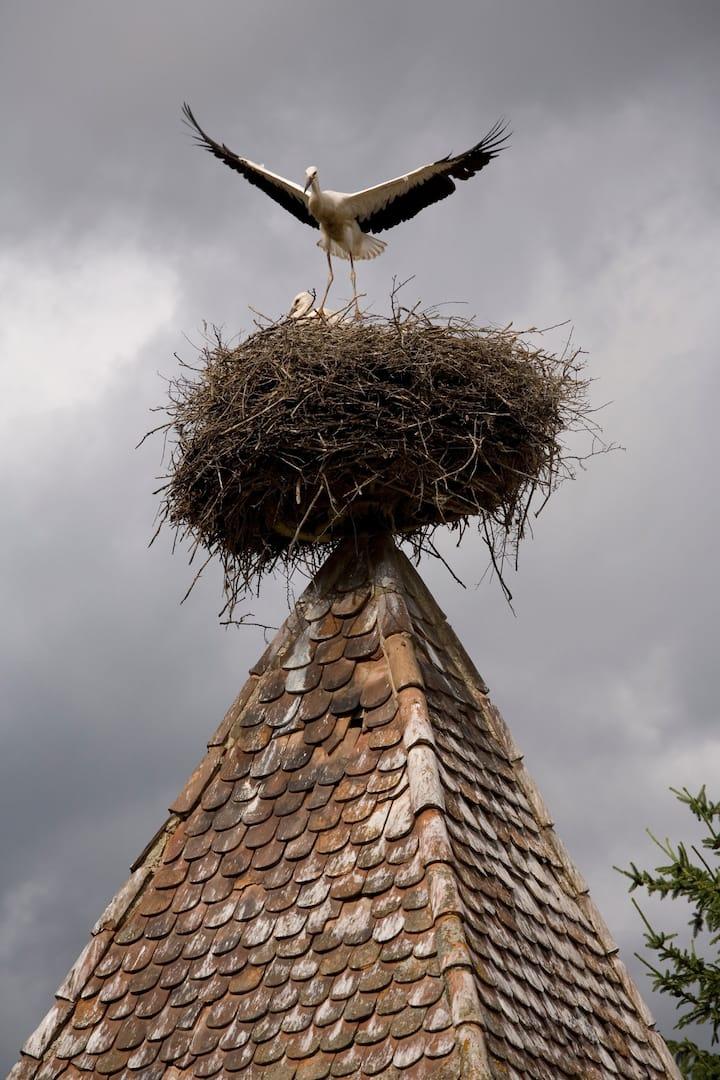 Transylvania's famous white storks