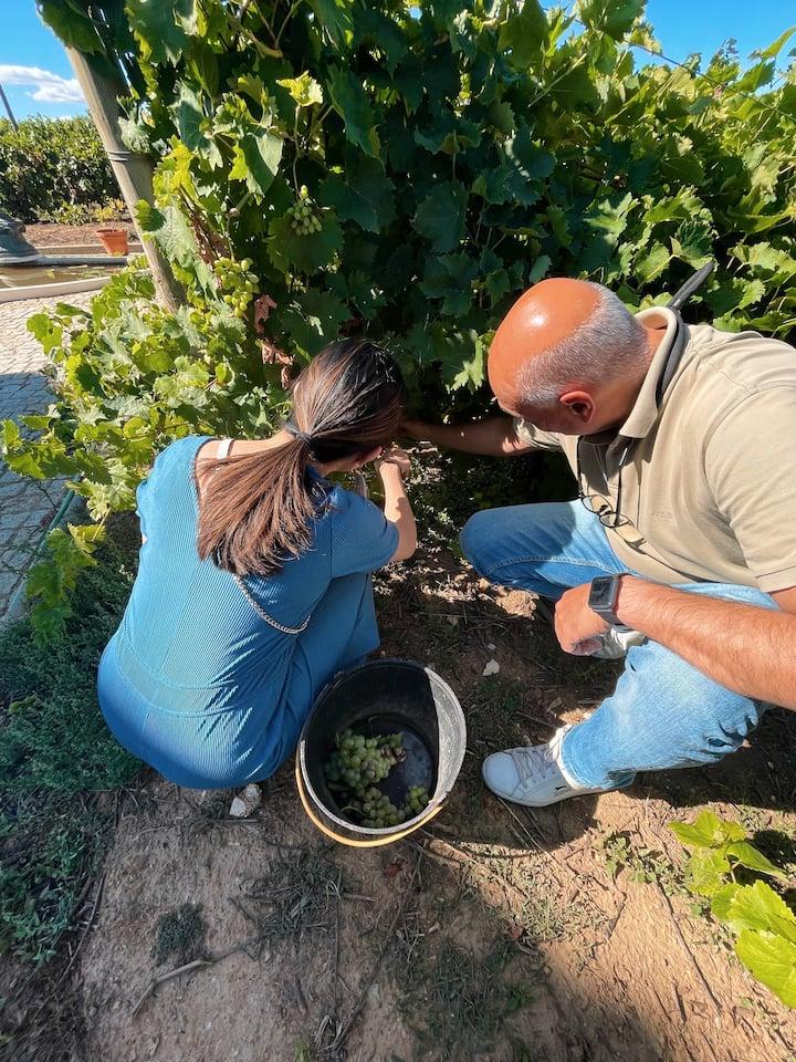 Grape Harvest at Favaios