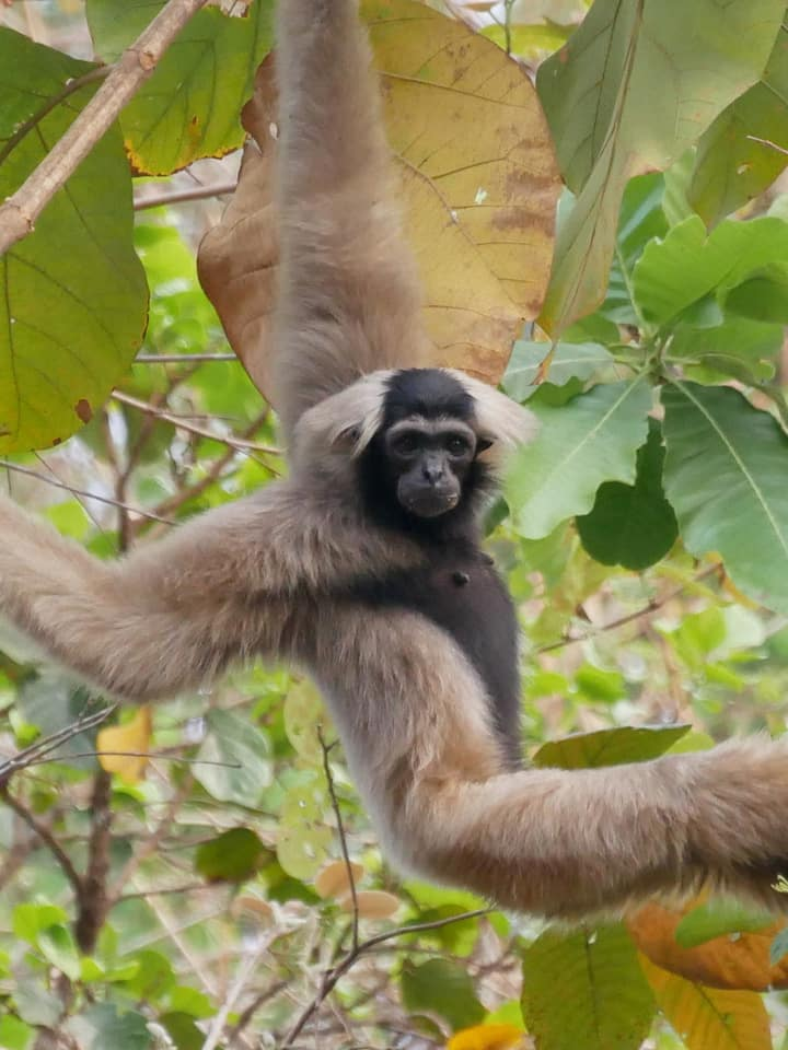 Hear the pileated gibbons