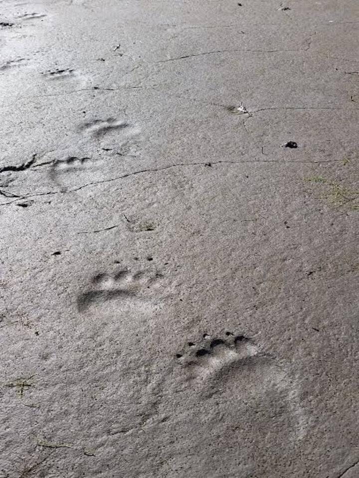 Bear tracks on the beach