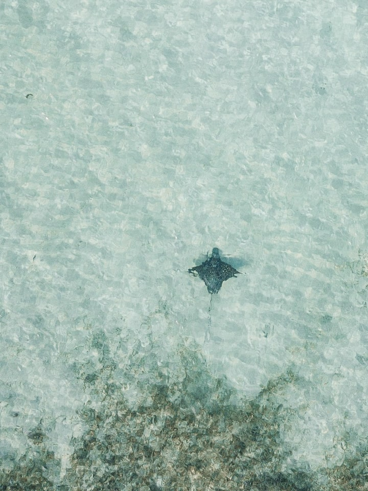 Spotted Eagle Ray swimming peacefully