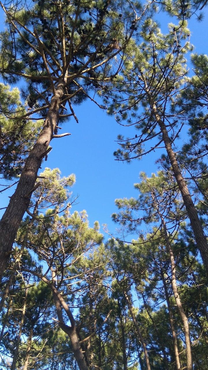 Scent of pine trees