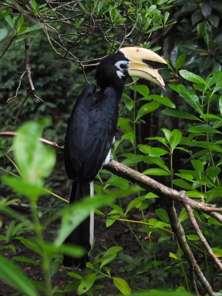 Oriental pied hornbill in deep thought