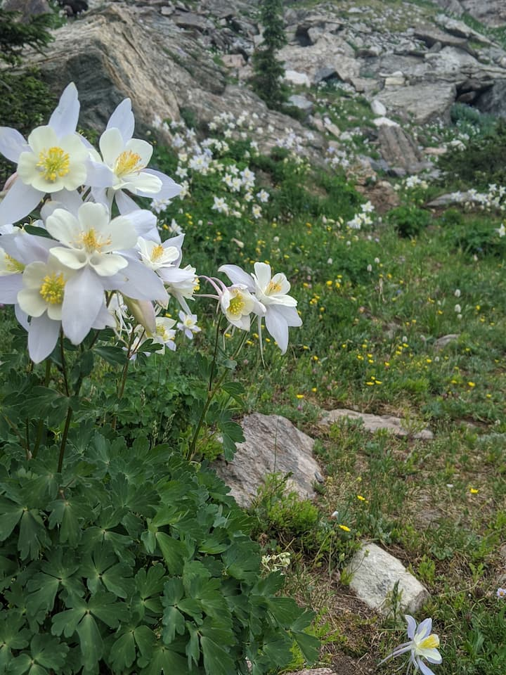 Alpine columbines in early summer