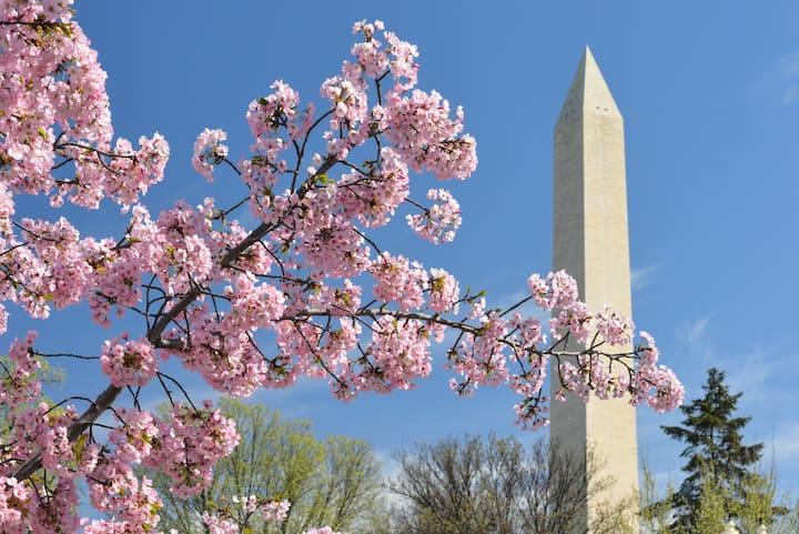 Cherry Blossom season - up to 4/10!
