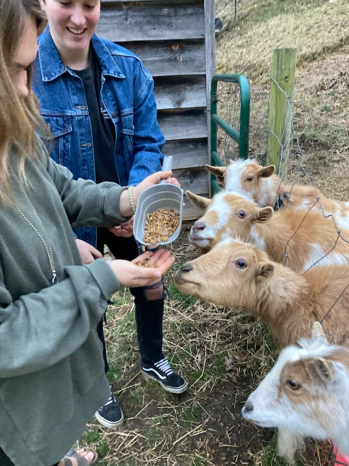 Goats love to be fed