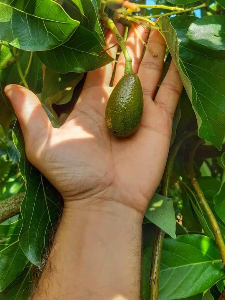 our mini avocados