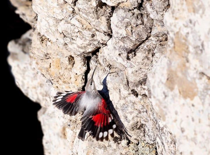 Wallcreeper flushing its Wings