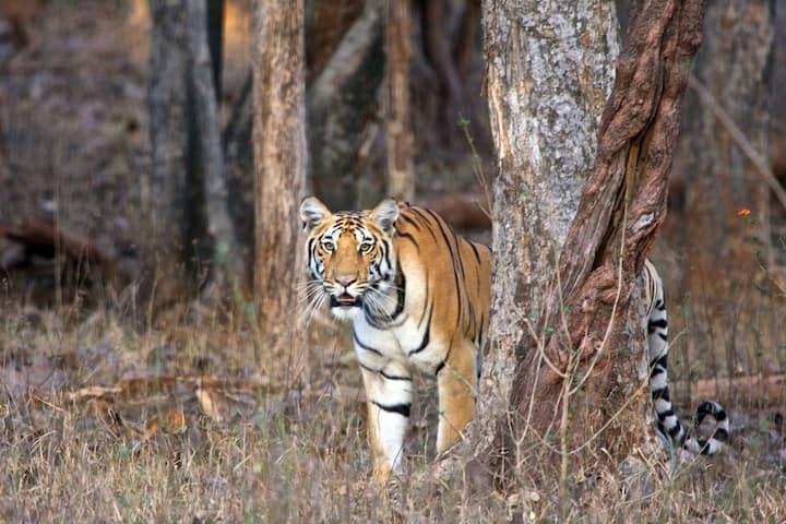 Ranthambore Tiger Sighting