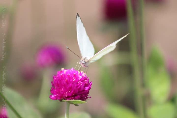 Ascia Monuste Butterfly