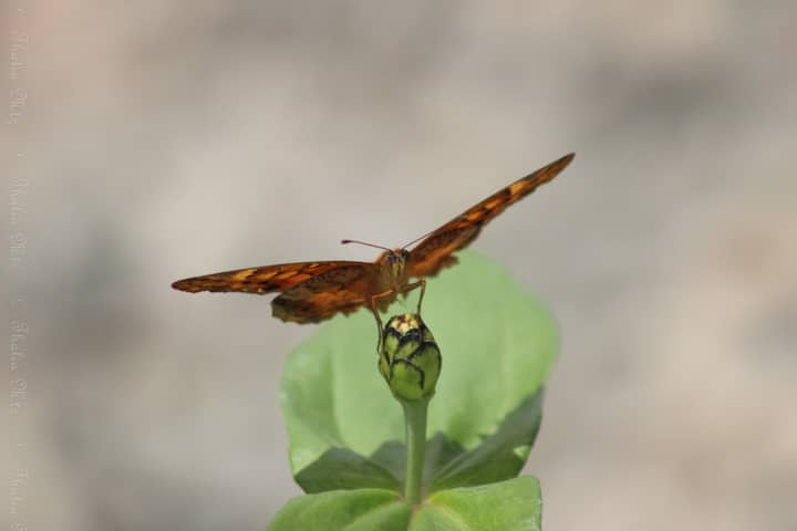 Mexican Fritillary Butterfly