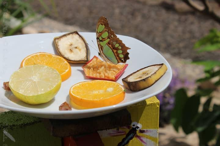 Amazing Malachite Butterfly