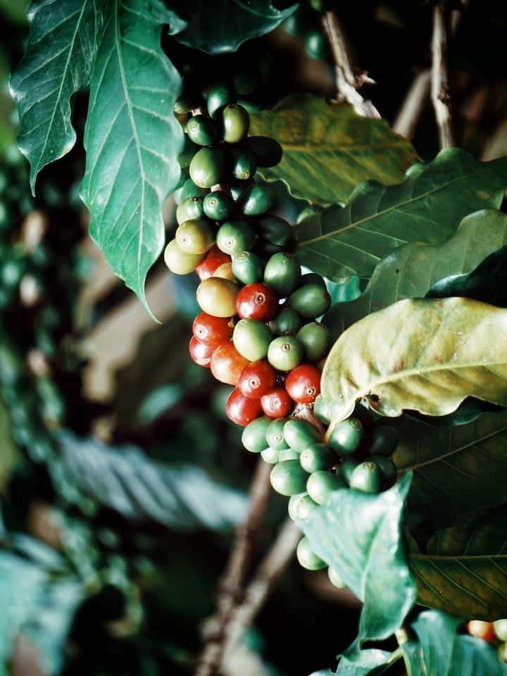 Thai coffee grown instead of opium